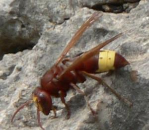hornet Is the Hornet Our Key to Renewable Energy?